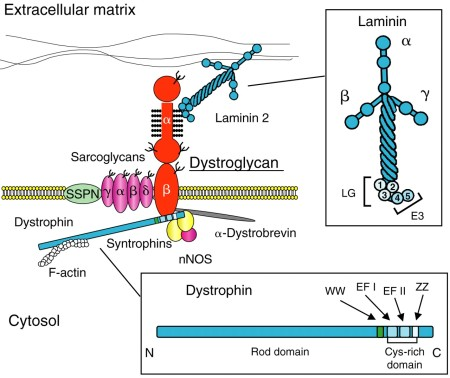 Dystrophin complex From Baresi & Campbell. http://jcs.biologists.org/content/119/2/199
